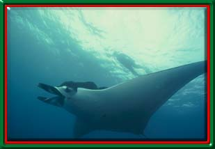 Snorkeling in Puerto Vallarta - Giant Manta